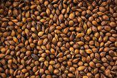 Roasted barley for roasted barley tea or mugicha.