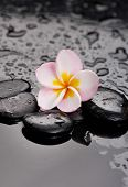 Still life with plumeria flowers on wet black stones