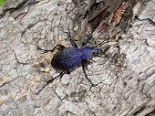 Escarabajo Carabus