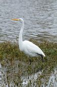 picture of off-shore  - White heron wading in off shore aquatic vegetation