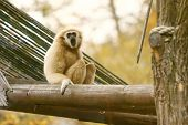 Gibbon Sitting On Wooden Beam