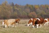 Small Flock Of Cows On Meadow
