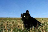 Black Cat On Meadow
