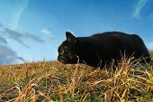 Black Cat Sneaking On Meadow