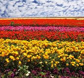 Flowers planted with broad bands of bright colors - red, yellow, pink and purple. Field of multi-colored decorative buttercups