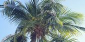 Coconut Tree top.