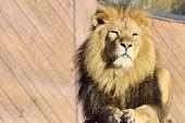 Proud lion lying down