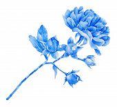 image of single white rose  - Single blue rose isolated on white background - JPG