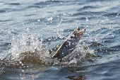 Hooked pike is fighting for freedom, blurred motion, reality shot