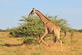 Giraffe Gallop - African Wildlife Background - Run of Freedom