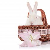 image of white rabbit  - Portrait of a white rabbit in a wattled basket and white - JPG