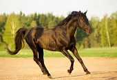 picture of stallion  - The black stallion in the sunset field - JPG