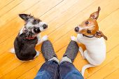 image of begging dog  - two dogs begging looking up to owner begging for walk and play on the floor inside their home - JPG