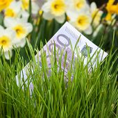 image of narcissi  - Euro banknote growing in green grass - JPG