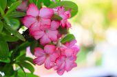 stock photo of desert-rose  - Adenium obesum (Desert Rose; Impala Lily; Mock Azalea) ** Note: Soft Focus at 100%, best at smaller sizes - JPG