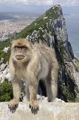 picture of gibraltar  - Gibraltar apes: the only wild living apes in Europe and view on Gibraltar rock in background.