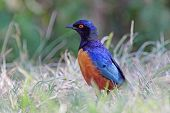 foto of grass bird  - A colorful african bird known as superb starling Lamprotornis superbus on the grass in Serengeti National Park Tanzania - JPG