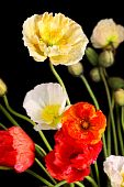 Bunch Of Colourful Poppies