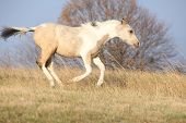 picture of paint horse  - Paint horse foal running in freedom alone in autumn - JPG
