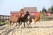 stock photo of mare foal  - Mare with two foals running together in paddock in front of the stable