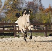 pic of arena  - Gorgeous welsh cob running in arena with autumn background  - JPG