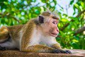 image of marmosets  - Photo of the monkey is lying outdoor in Sigiriya Sri Lanka - JPG
