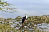 stock photo of fish-eagle  - Fish Eagle on a tree in Naivasha Lake - JPG