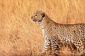 pic of leopard  - Female leopard walking in grass and looking for its pray in Masai Mara Kenya - JPG