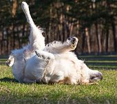 stock photo of disobedient  - Dog luxuriates in the glow of the warm spring sun on the fresh grass - JPG