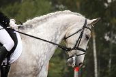 image of girth  - Gray sport horse portrait ar show arena competition - JPG