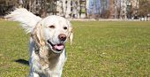 picture of disobedient  - Golden Retriever is walking through the stadium in the countryside - JPG