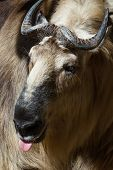 picture of tibetan  - Close up of a Takin A tibetan mammal found often in the Himalayas - JPG