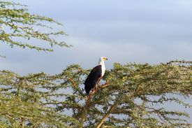 foto of fish-eagle  - Fish Eagle on a tree in Naivasha Lake - JPG