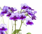 image of nod  - Purple - JPG