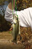 picture of lurch  - big mouth bass fish hanging on a line - JPG