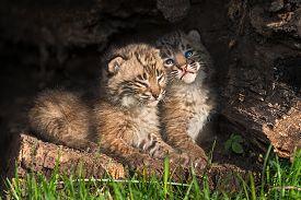 stock photo of hollow log  - Baby Bobcat Kittens  - JPG