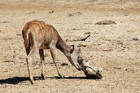 picture of deer  - Young Timor Deer  - JPG