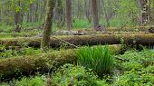 Springtime Wetland Stand Of Bialowieza Forest