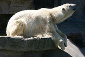 pic of schoenbrunn  - Polar bear in Vienna zoo Schoenbrunn - JPG