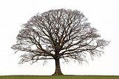 Winter Oak