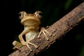 Tree frog in Brazil amazon rainforest night animal jungle frog of tropical rain forest macro on blac