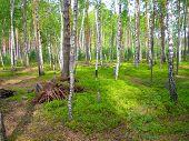 Russian Birch Grove