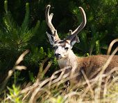 Close Encounter With A Buck