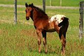 picture of appaloosa  - Very young Appaloosa colt out in pasture horse
