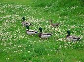 Ducks On The Meadow