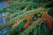 Barberry Bush, Colorful Floral Red Background. Barberry Berries On Bush In Autumn Season, Shallow Fo poster