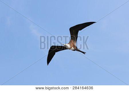 Female Magnificent Frigate Bird In