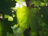 Maple Leaves Are Large. Green Krona Maple poster