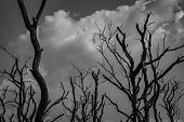 Silhouette Dead Tree  On Dark Dramatic Grey Sky And White Cumulus Clouds Background For Scary, Death poster