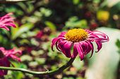 Vivid Beautiful Messy Aster With Soil On Petals And Pollen. Amazing Imperfect Magenta Flower Close-u poster